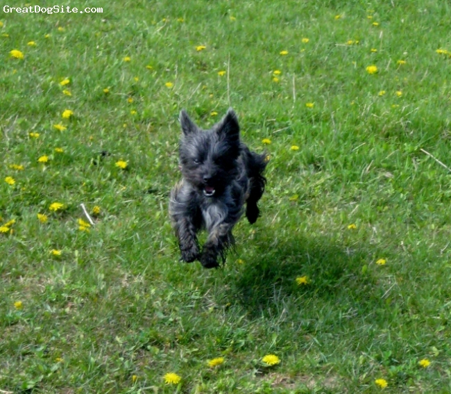 Fourche Terrier, 1 yr., brindle, Tootsie chasing butterflies out in a field.